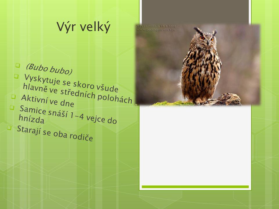 Výr velký  (Bubo bubo)  Vyskytuje se skoro všude hlavně ve středních polohách  Aktivní ve dne  Samice snáší 1-4 vejce do hnízda  Starají se oba r