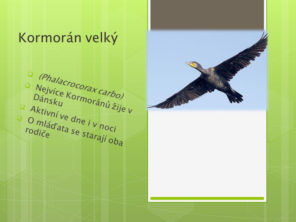 Kormorán velký  (Phalacrocorax carbo)  Nejvíce Kormoránů žije v Dánsku  Aktivní ve dne i v noci  O mláďata se starají oba rodiče