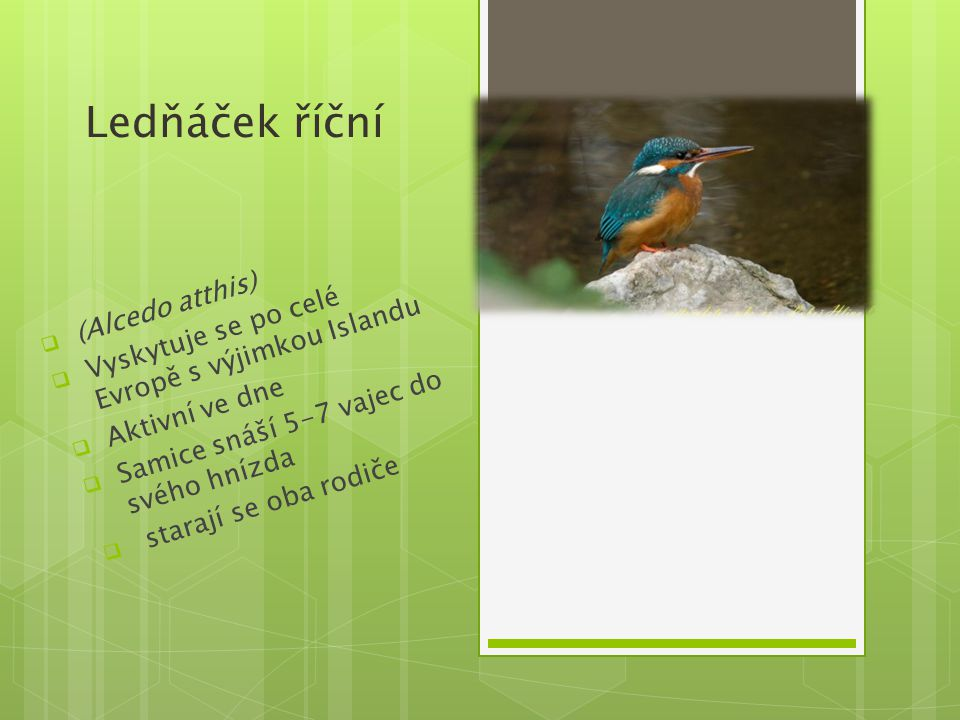 Ledňáček říční  (Alcedo atthis)  Vyskytuje se po celé Evropě s výjimkou Islandu  Aktivní ve dne  Samice snáší 5-7 vajec do svého hnízda  starají