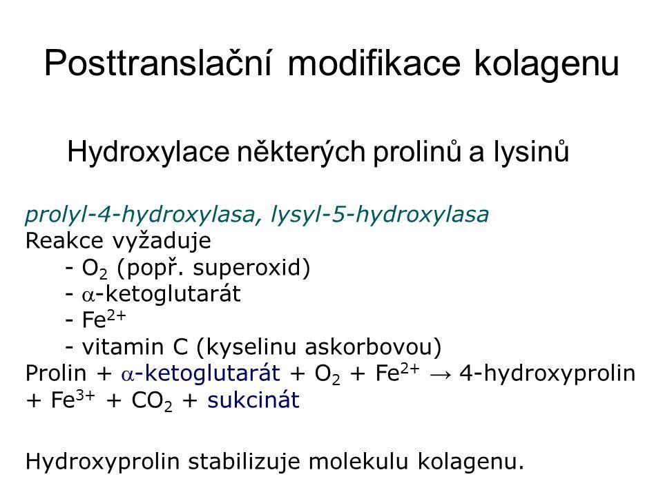 Hydroxylace některých prolinů a lysinů prolyl-4-hydroxylasa, lysyl-5-hydroxylasa Reakce vyžaduje - O 2 (popř. superoxid) - -ketoglutarát - Fe 2+ - vi