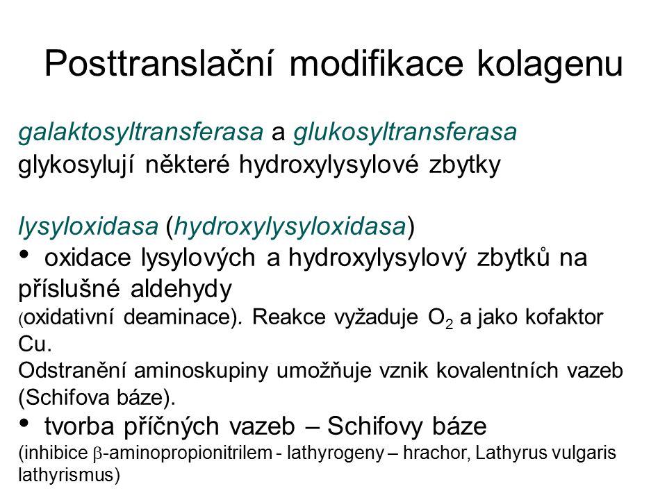 galaktosyltransferasa a glukosyltransferasa glykosylují některé hydroxylysylové zbytky lysyloxidasa (hydroxylysyloxidasa) oxidace lysylových a hydroxy
