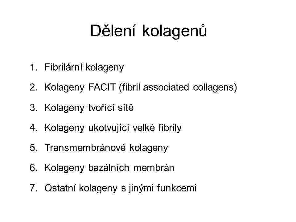 Dělení kolagenů 1.Fibrilární kolageny 2.Kolageny FACIT (fibril associated collagens) 3.Kolageny tvořící sítě 4.Kolageny ukotvující velké fibrily 5.Tra