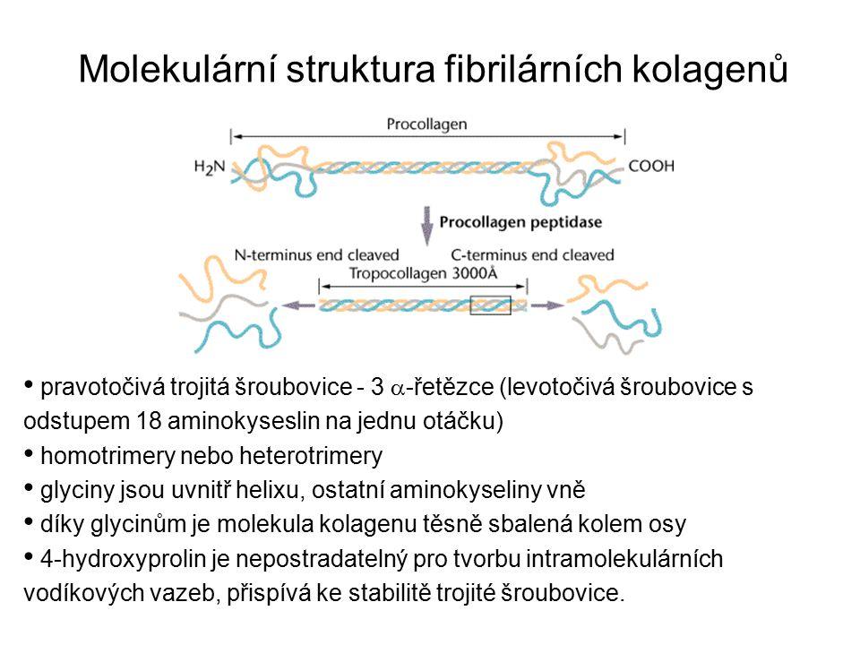 Molekulární struktura fibrilárních kolagenů pravotočivá trojitá šroubovice - 3  -řetězce (levotočivá šroubovice s odstupem 18 aminokyseslin na jednu