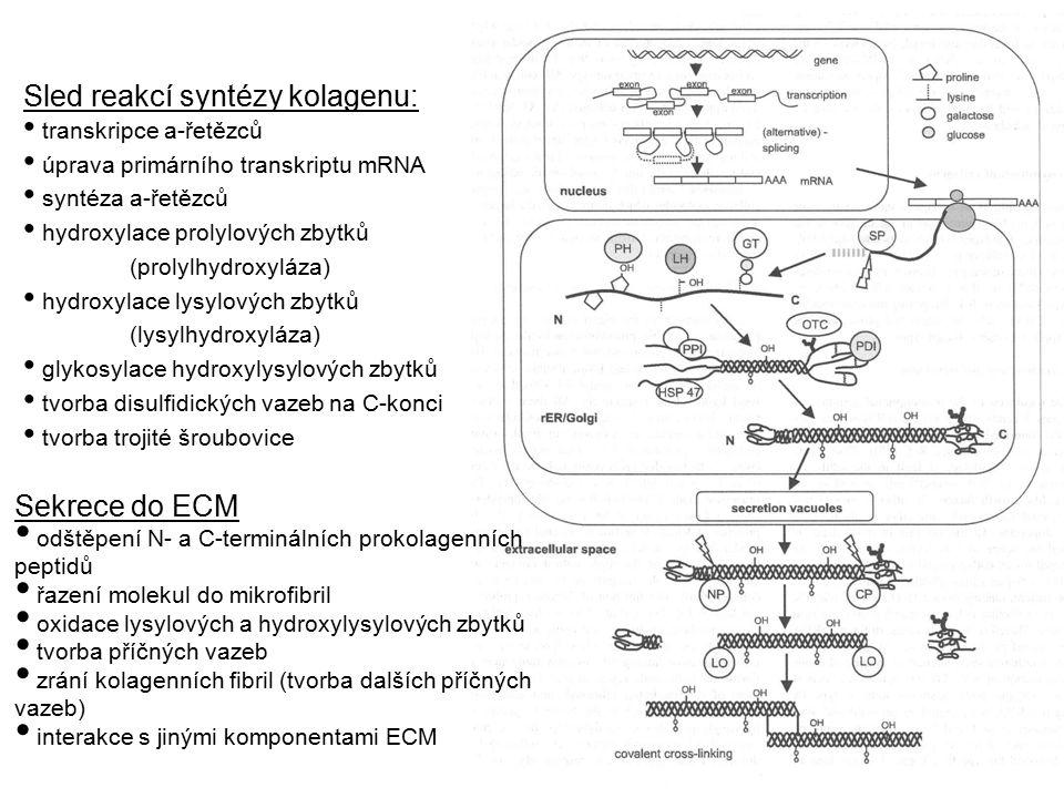 Sled reakcí syntézy kolagenu: transkripce a-řetězců úprava primárního transkriptu mRNA syntéza a-řetězců hydroxylace prolylových zbytků (prolylhydroxy