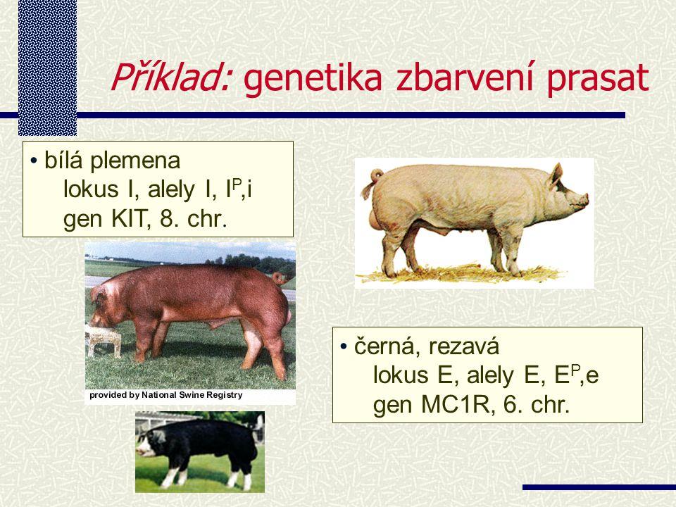 Příklad: genetika zbarvení prasat bílá plemena lokus I, alely I, I P,i gen KIT, 8.