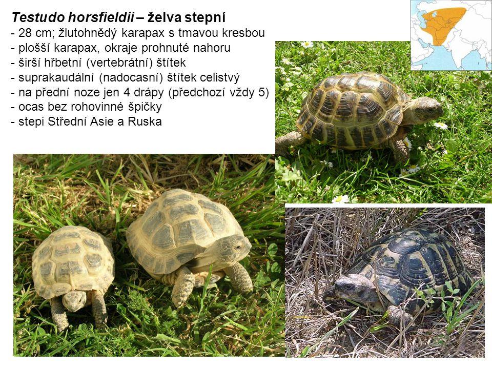 Testudo horsfieldii – želva stepní - 28 cm; žlutohnědý karapax s tmavou kresbou - plošší karapax, okraje prohnuté nahoru - širší hřbetní (vertebrátní) štítek - suprakaudální (nadocasní) štítek celistvý - na přední noze jen 4 drápy (předchozí vždy 5) - ocas bez rohovinné špičky - stepi Střední Asie a Ruska