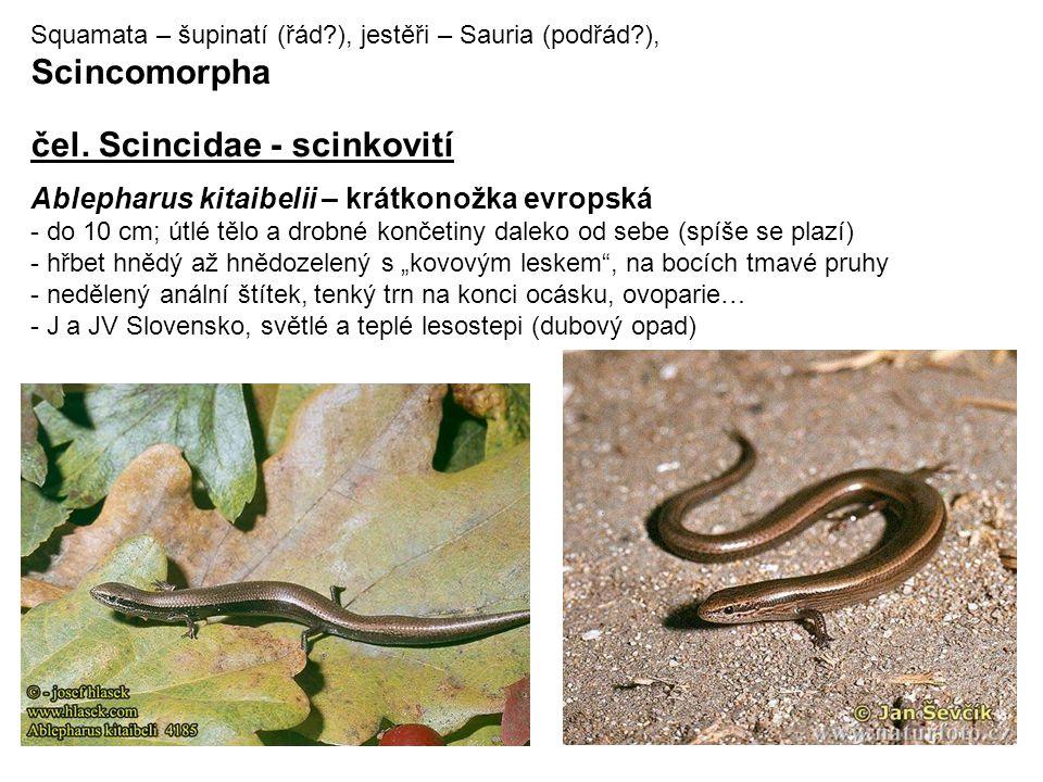 Squamata – šupinatí (řád?), jestěři – Sauria (podřád?), Scincomorpha čel.