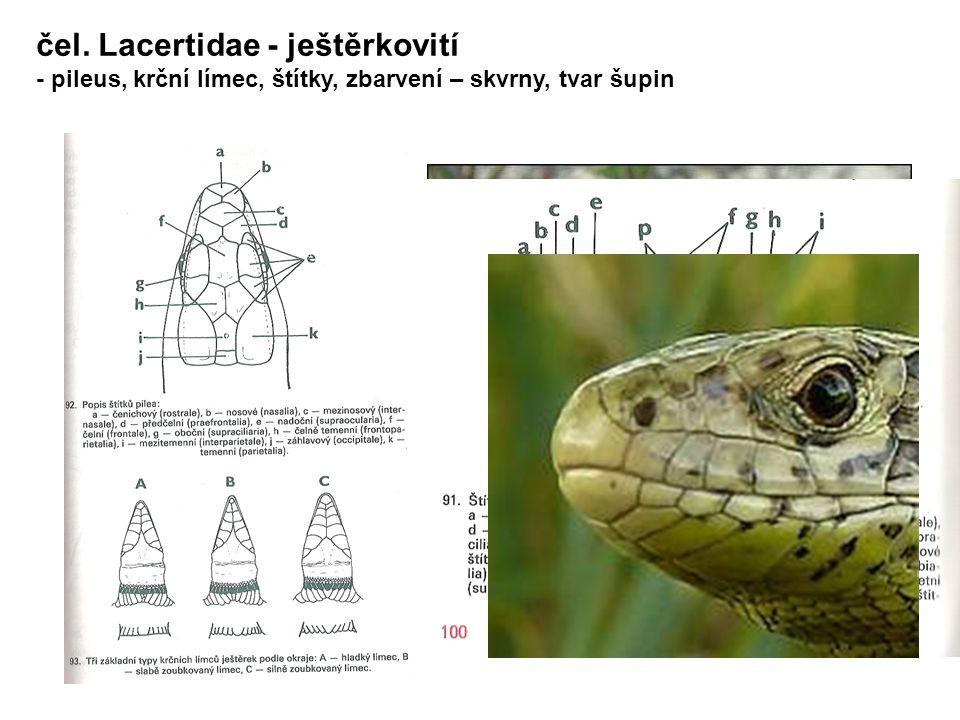 čel. Lacertidae - ještěrkovití - pileus, krční límec, štítky, zbarvení – skvrny, tvar šupin