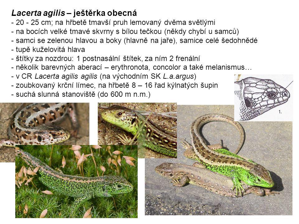 Lacerta agilis – ještěrka obecná - 20 - 25 cm; na hřbetě tmavší pruh lemovaný dvěma světlými - na bocích velké tmavé skvrny s bílou tečkou (někdy chybí u samců) - samci se zelenou hlavou a boky (hlavně na jaře), samice celé šedohnědé - tupě kuželovitá hlava - štítky za nozdrou: 1 postnasální štítek, za ním 2 frenální - několik barevných aberací – erythronota, concolor a také melanismus… - v CR Lacerta agilis agilis (na východním SK L.a.argus) - zoubkovaný krční límec, na hřbetě 8 – 16 řad kýlnatých šupin - suchá slunná stanoviště (do 600 m n.m.)
