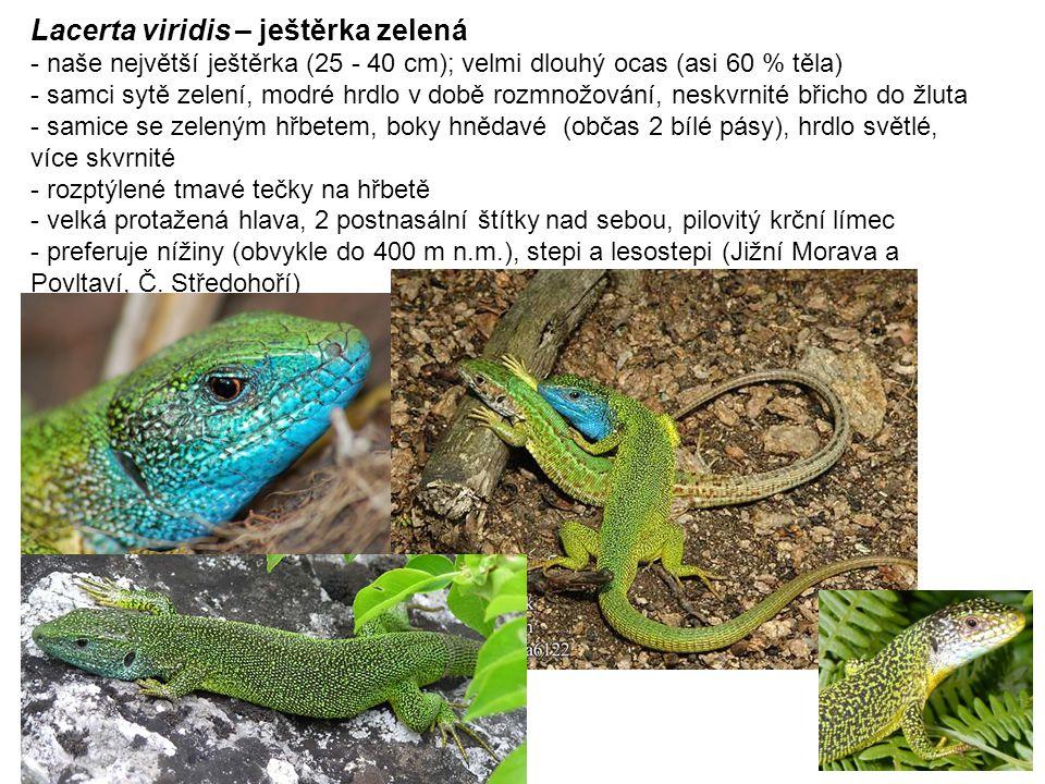Lacerta viridis – ještěrka zelená - naše největší ještěrka (25 - 40 cm); velmi dlouhý ocas (asi 60 % těla) - samci sytě zelení, modré hrdlo v době rozmnožování, neskvrnité břicho do žluta - samice se zeleným hřbetem, boky hnědavé (občas 2 bílé pásy), hrdlo světlé, více skvrnité - rozptýlené tmavé tečky na hřbetě - velká protažená hlava, 2 postnasální štítky nad sebou, pilovitý krční límec - preferuje nížiny (obvykle do 400 m n.m.), stepi a lesostepi (Jižní Morava a Povltaví, Č.