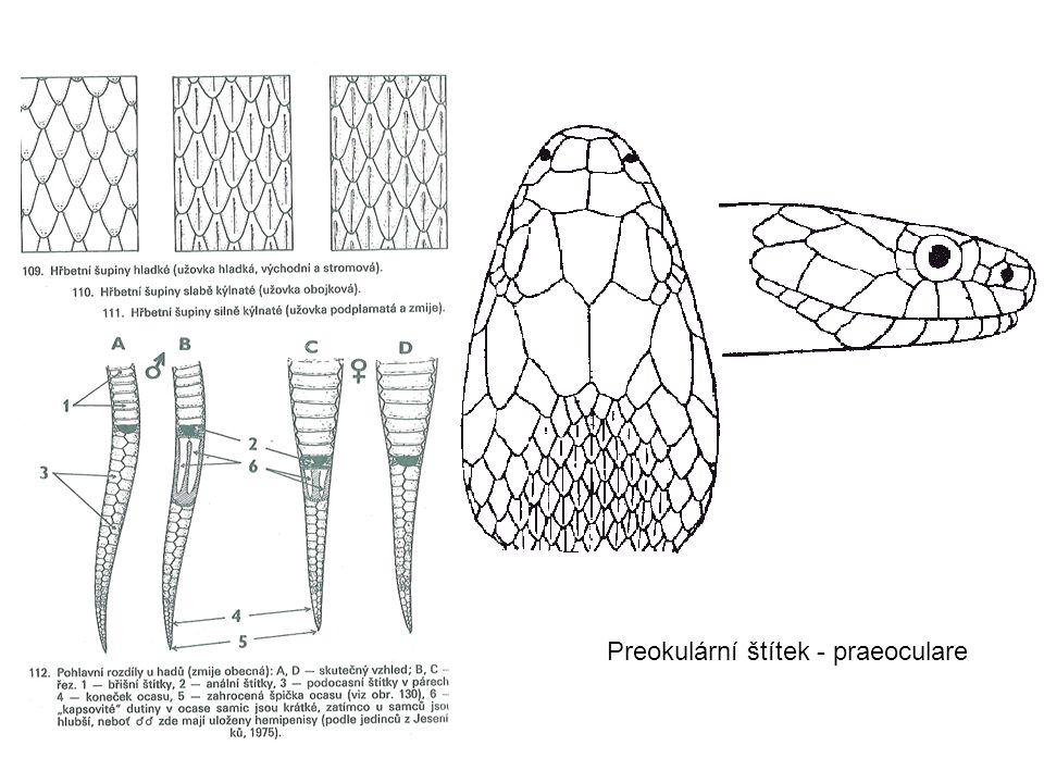 Preokulární štítek - praeoculare