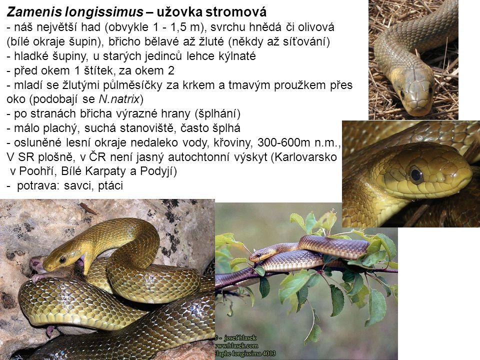 Zamenis longissimus – užovka stromová - náš největší had (obvykle 1 - 1,5 m), svrchu hnědá či olivová (bílé okraje šupin), břicho bělavé až žluté (někdy až síťování) - hladké šupiny, u starých jedinců lehce kýlnaté - před okem 1 štítek, za okem 2 - mladí se žlutými půlměsíčky za krkem a tmavým proužkem přes oko (podobají se N.natrix) - po stranách břicha výrazné hrany (šplhání) - málo plachý, suchá stanoviště, často šplhá - osluněné lesní okraje nedaleko vody, křoviny, 300-600m n.m., V SR plošně, v ČR není jasný autochtonní výskyt (Karlovarsko v Poohří, Bílé Karpaty a Podyjí) - potrava: savci, ptáci