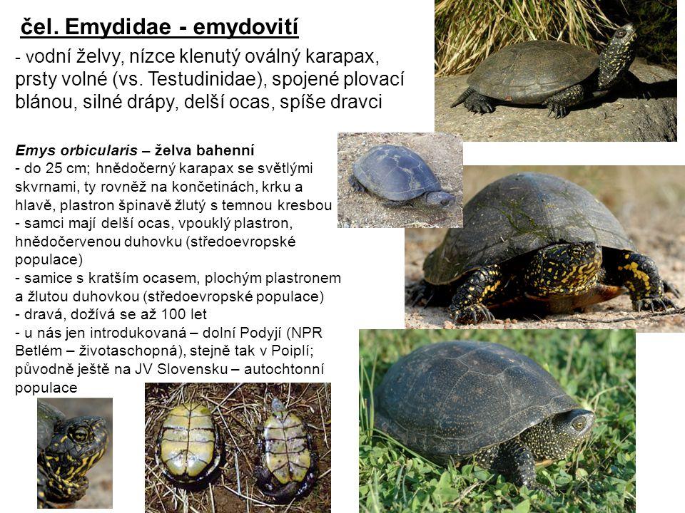 čel.Emydidae - emydovití - v odní želvy, nízce klenutý oválný karapax, prsty volné (vs.