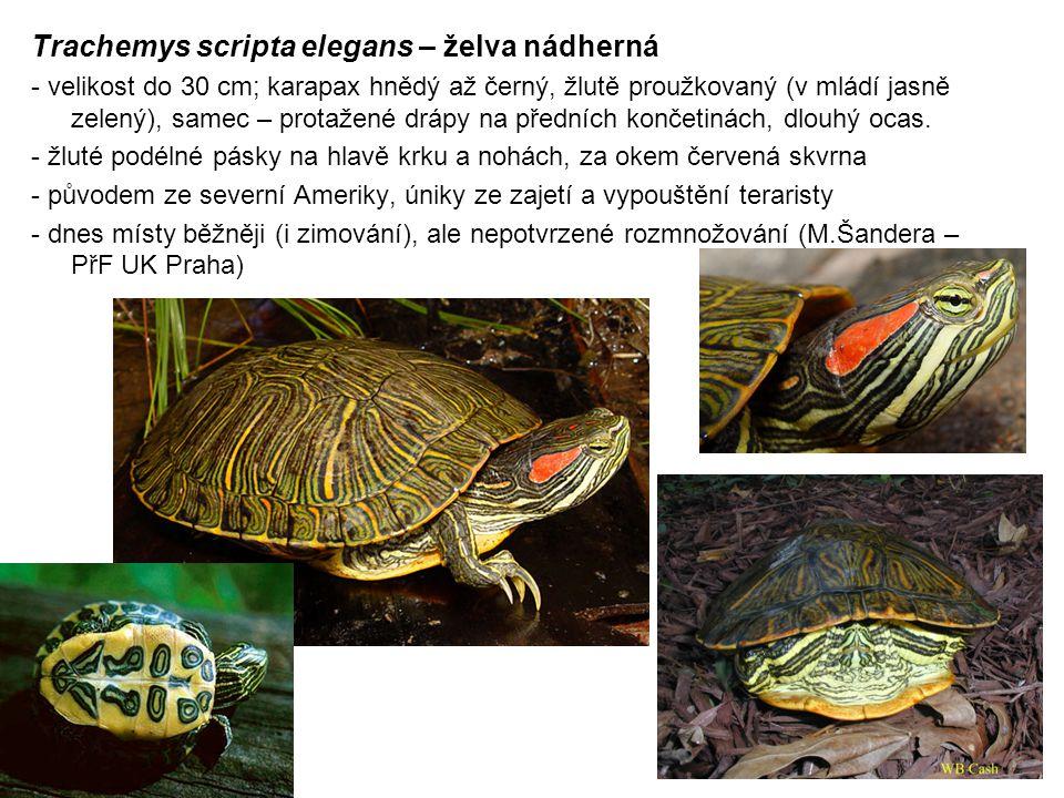 Trachemys scripta elegans – želva nádherná - velikost do 30 cm; karapax hnědý až černý, žlutě proužkovaný (v mládí jasně zelený), samec – protažené drápy na předních končetinách, dlouhý ocas.