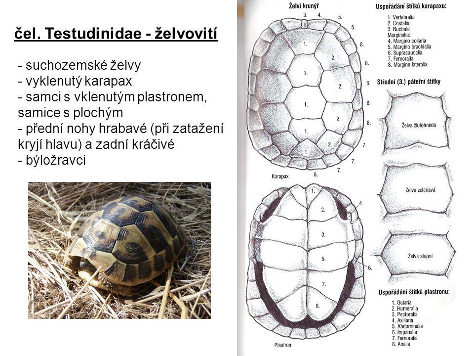 čel. Testudinidae - želvovití - suchozemské želvy - vyklenutý karapax - samci s vklenutým plastronem, samice s plochým - přední nohy hrabavé (při zata