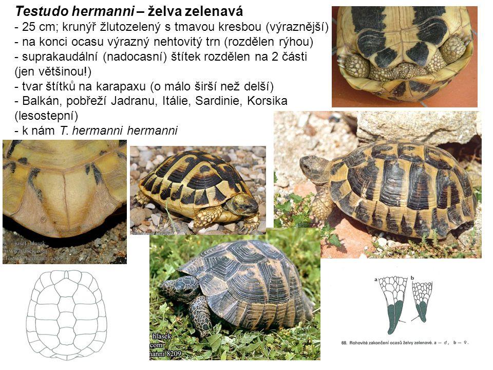 Zootoca vivipara – ještěrka živorodá - štíhlá ještěrka, 15 - 17 cm; hnědý hřbet, chybí zelená barva, častý melanismus - většinou dvě světlé linky po stranách hřbetu, tmavé skvrny (u samců se světlým středem) - samci mají oranžové až červené břicho s tmavými skvrnami, samice světlé beze skvrn (není pravidlem) - protáhlejší čenich, 1 postnasální a 1 frenální štítek, pilovitý krční límec - slabé a kratší nohy, úzké šupiny na hřbetě pouze 1- 2 řady - střední až vyšší polohy (paseky), na vlhčích stanovištích i do nížin - ovoviviparie