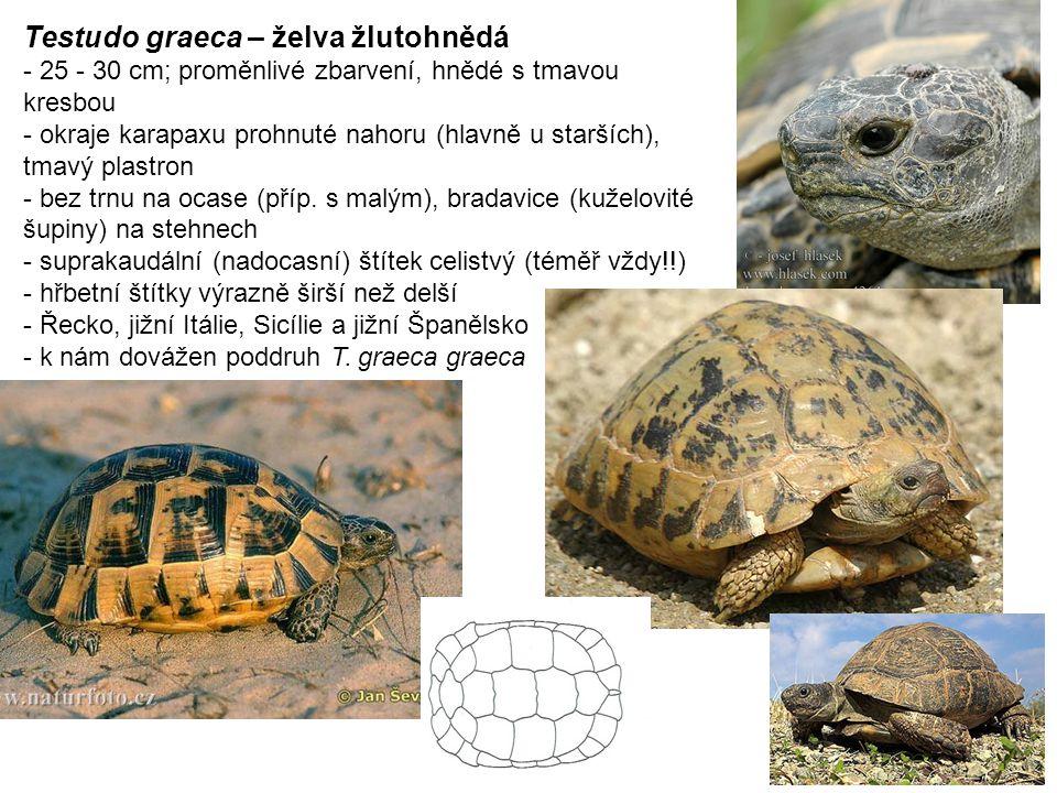 Testudo graeca – želva žlutohnědá - 25 - 30 cm; proměnlivé zbarvení, hnědé s tmavou kresbou - okraje karapaxu prohnuté nahoru (hlavně u starších), tmavý plastron - bez trnu na ocase (příp.