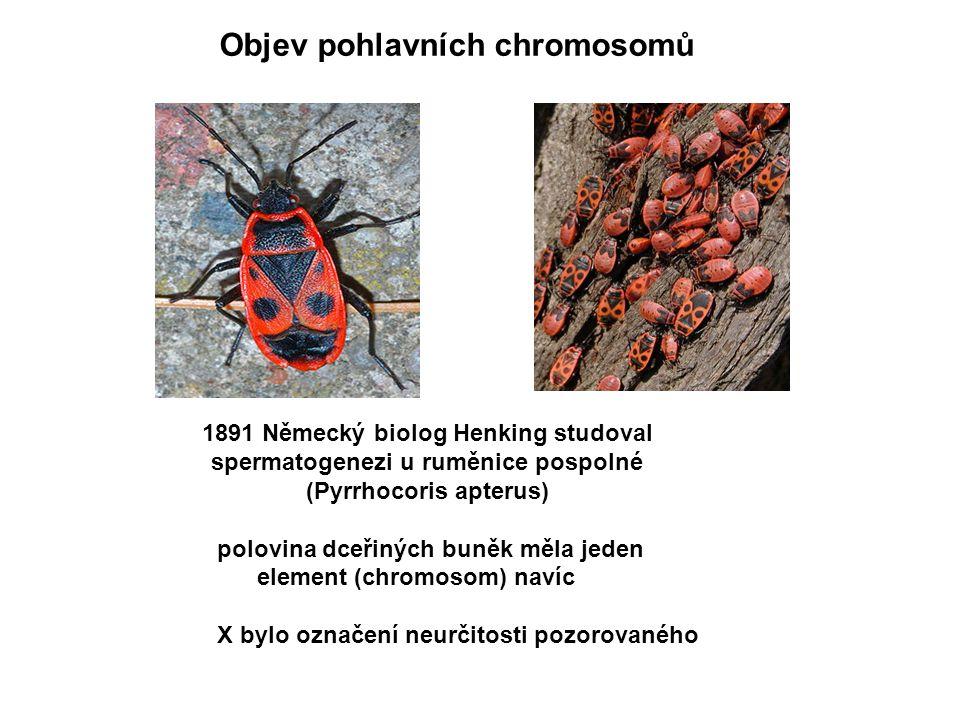 1891 Německý biolog Henking studoval spermatogenezi u ruměnice pospolné (Pyrrhocoris apterus) polovina dceřiných buněk měla jeden element (chromosom)