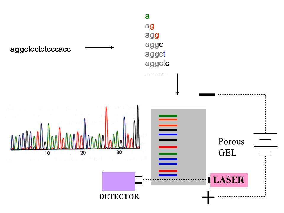 Porous GEL + _ LASER DETECTOR aggctcctctcccacc a ag agg aggc aggct aggctc ……..