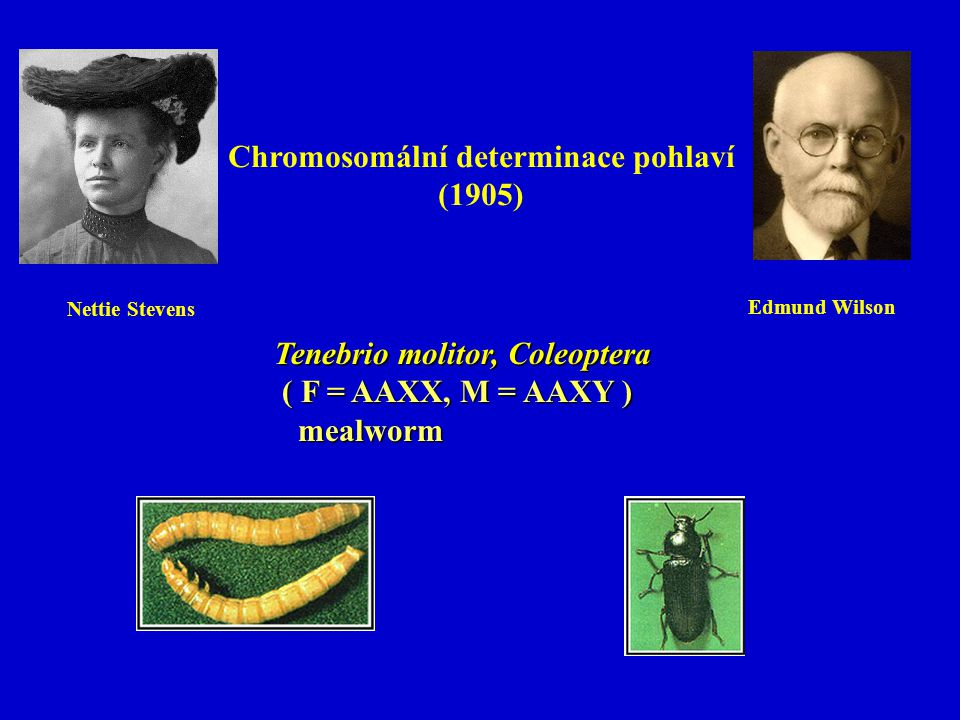 Tenebrio molitor, Coleoptera ( F = AAXX, M = AAXY ) ( F = AAXX, M = AAXY ) mealworm mealworm Chromosomální determinace pohlaví (1905) Nettie Stevens E