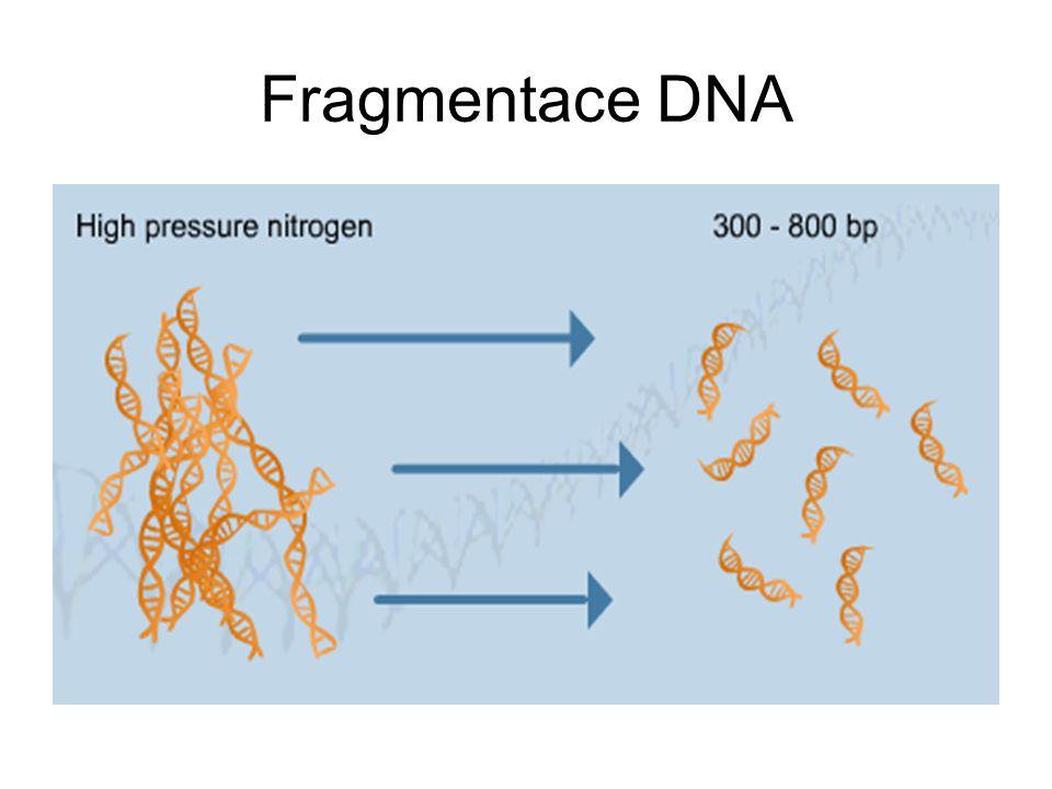 Fragmentace DNA