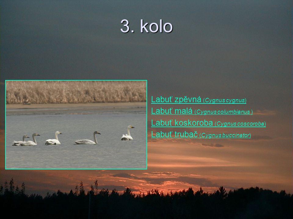 3. kolo Labuť zpěvná (Cygnus cygnus)Labuť zpěvná (Cygnus cygnus) Labuť malá (Cygnus columbianus )Labuť malá (Cygnus columbianus ) Labuť koskoroba (Cyg