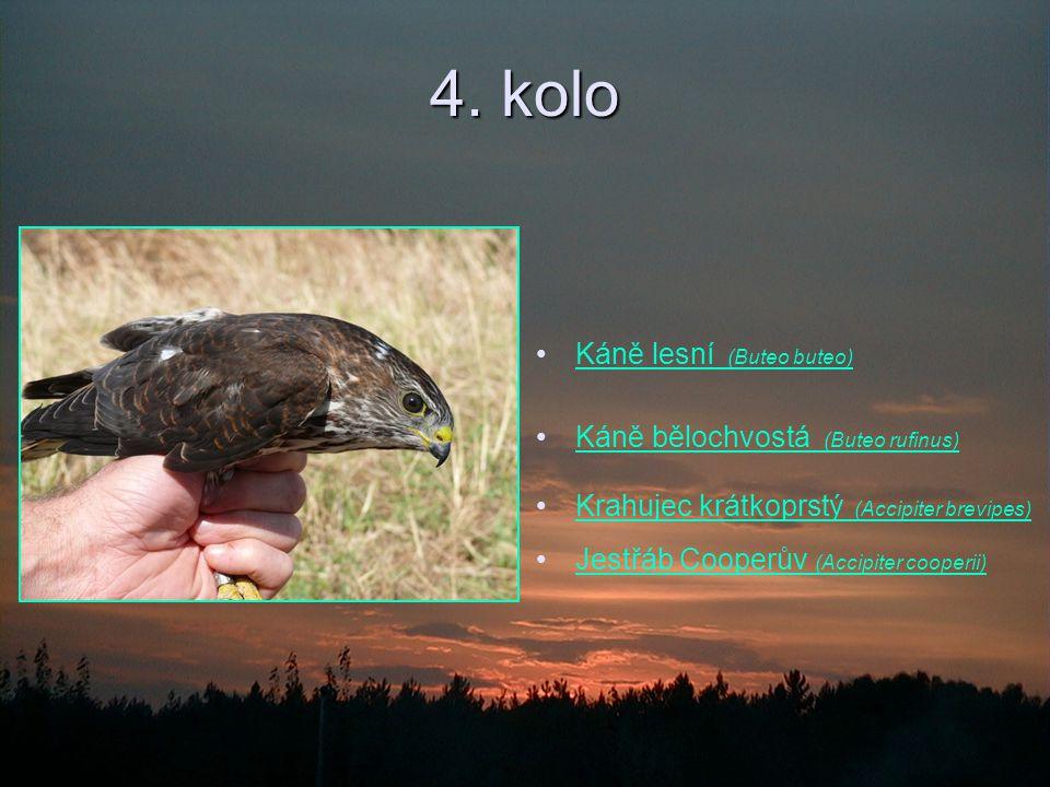 4. kolo Káně lesní (Buteo buteo)Káně lesní (Buteo buteo) Káně bělochvostá (Buteo rufinus)Káně bělochvostá (Buteo rufinus) Krahujec krátkoprstý (Accipi