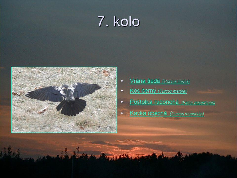 7. kolo Vrána šedá ( Corvus cornix)Vrána šedá ( Corvus cornix) Kos černý ( Turdus merula )Kos černý ( Turdus merula ) Poštolka rudonohá (Falco vespert