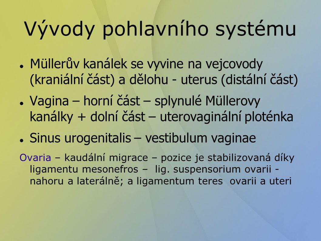 Vývody pohlavního systému M üllerův kanálek se vyvine na vejcovody (kraniální část) a dělohu - uterus (distální část) Vagina – horní část – splynulé Müllerovy kanálky + dolní část – uterovaginální ploténka Sinus urogenitalis – vestibulum vaginae Ovaria – kaudální migrace – pozice je stabilizovaná díky ligamentu mesonefros – lig.