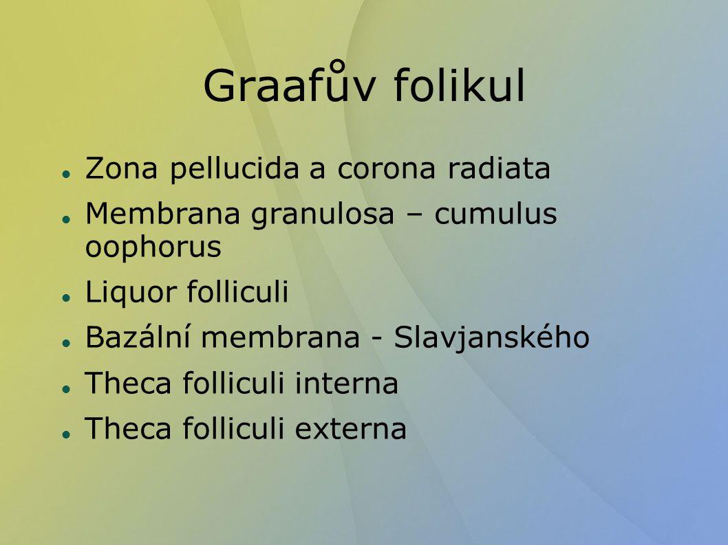 Graafův folikul Zona pellucida a corona radiata Membrana granulosa – cumulus oophorus Liquor folliculi Bazální membrana - Slavjanského Theca folliculi interna Theca folliculi externa