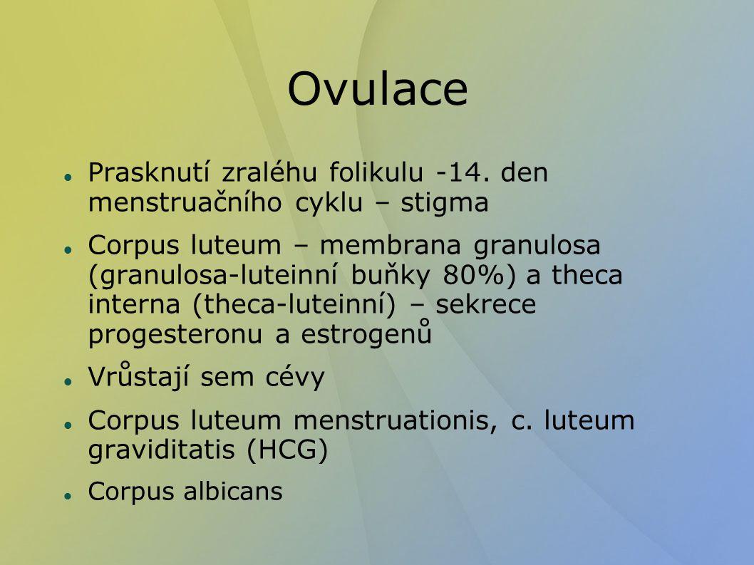 Ovulace Prasknutí zraléhu folikulu -14.
