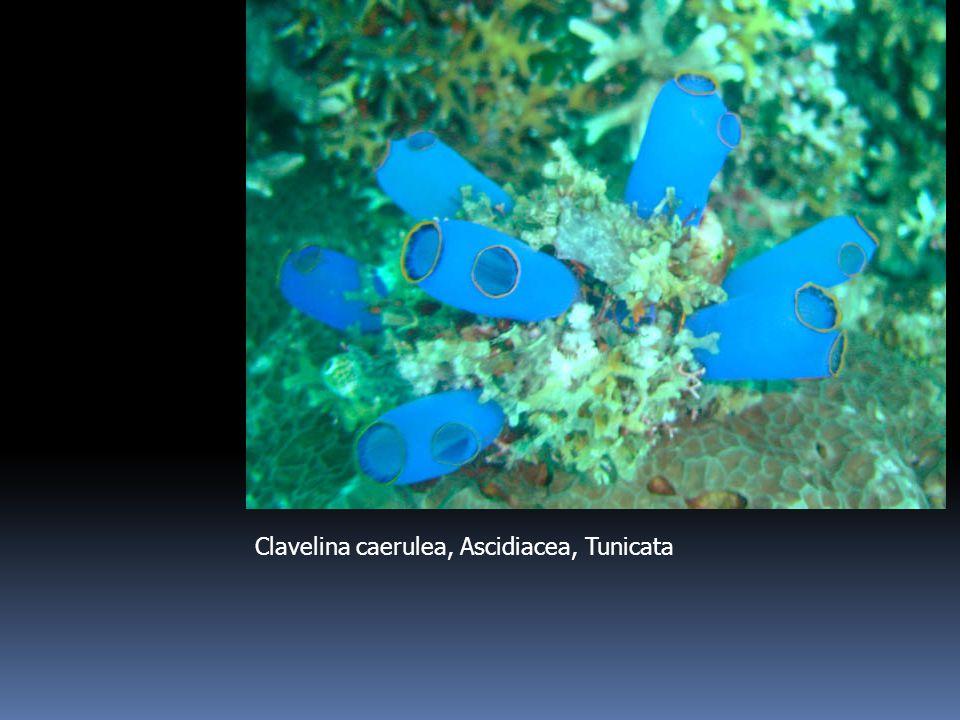 Clavelina caerulea, Ascidiacea, Tunicata