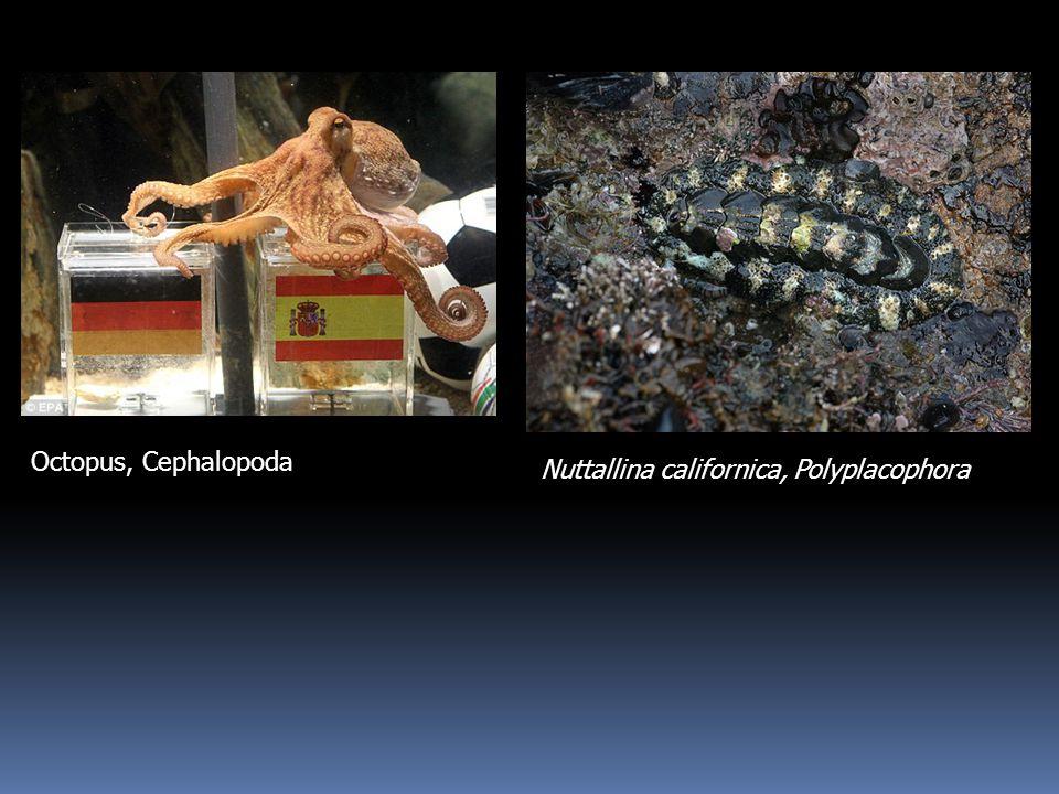 Nuttallina californica, Polyplacophora Octopus, Cephalopoda