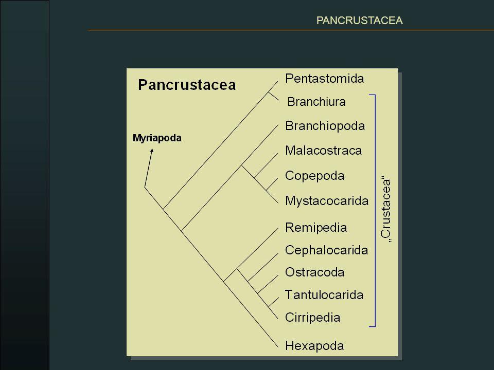 Pentastomida, PANCRUSTACEA PENTASTOMIDA (jazyčnatky) endoparazité dýchacích orgánů suchozemských masožravých obratlovců dospělci - červovitý tvar (1-15 cm) na přídi 5 výběžků – ústa + obvykle 2 páry končetin s drápky na přichycení larvy v různých orgánech obratlovců Linguatula serrata jazyčnatka tasemnicová - 10 cm, v nosní a lebeční dutině psovitých šelem, larvální stádia zajíci a králíci.
