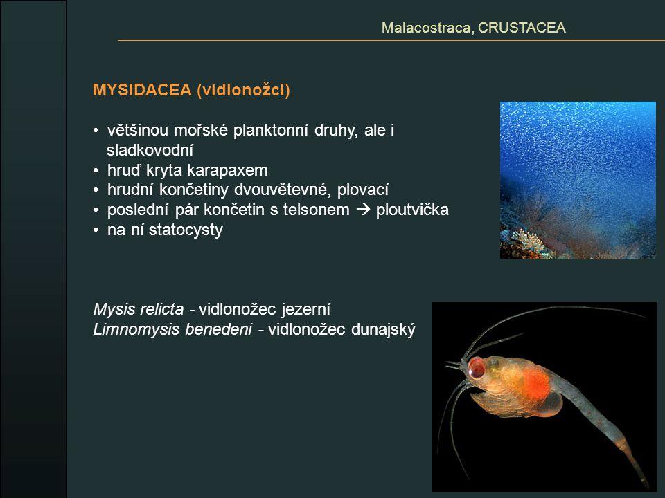 MYSIDACEA (vidlonožci) většinou mořské planktonní druhy, ale i sladkovodní hruď kryta karapaxem hrudní končetiny dvouvětevné, plovací poslední pár kon