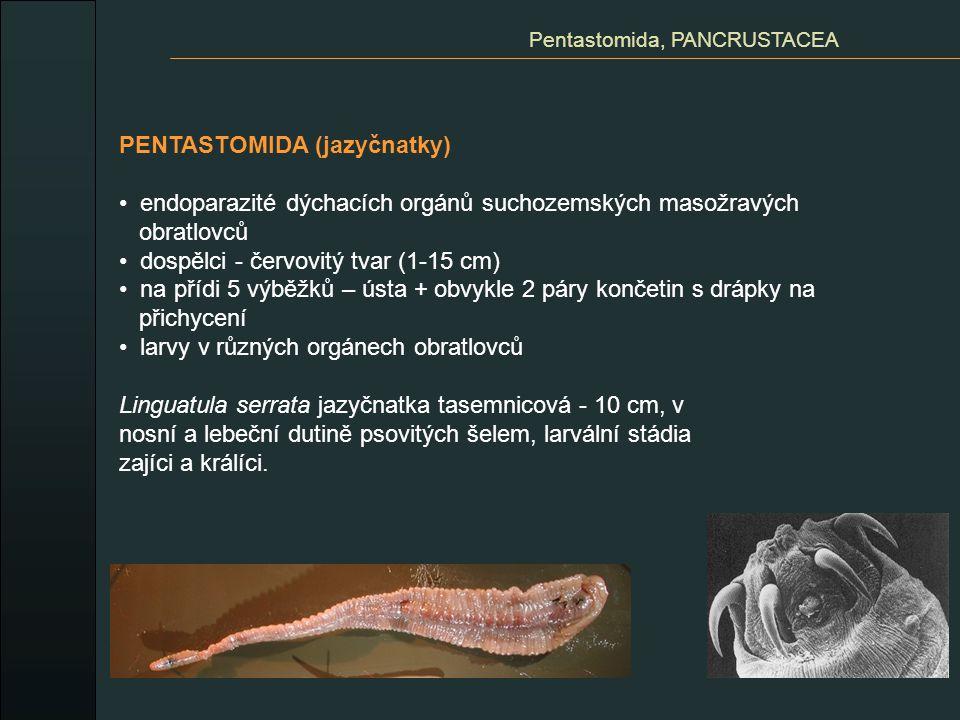 CLADOCERA (perloočky) převážně planktonní laterálně zploštělé tělo dvouchlopňová skořápka (nekryje hlavu) 1 složené oko + 1 naupliové očko pohyb veslovitý - dlouhé antény antenuly zakrnělé s chemoreceptory furkální drápek na zadečku filtrace sestonu z vody (hrudní končetiny) dýchání epipodity vývoj většinou přímý bez larvy heterogonie: partenogenetické samičky - haploidní vajíčka - samci - kopulace - vajíčka v ochranném obalu - ephippium - partenogenecké samičky video Branchiopoda, CRUSTACEA Daphnia pulex hrotnatka obecná Daphnia magna hrotnatka veká Bosmina longirostris nosatička obecná Leptodora kindtii ramenatka velká VIDEO