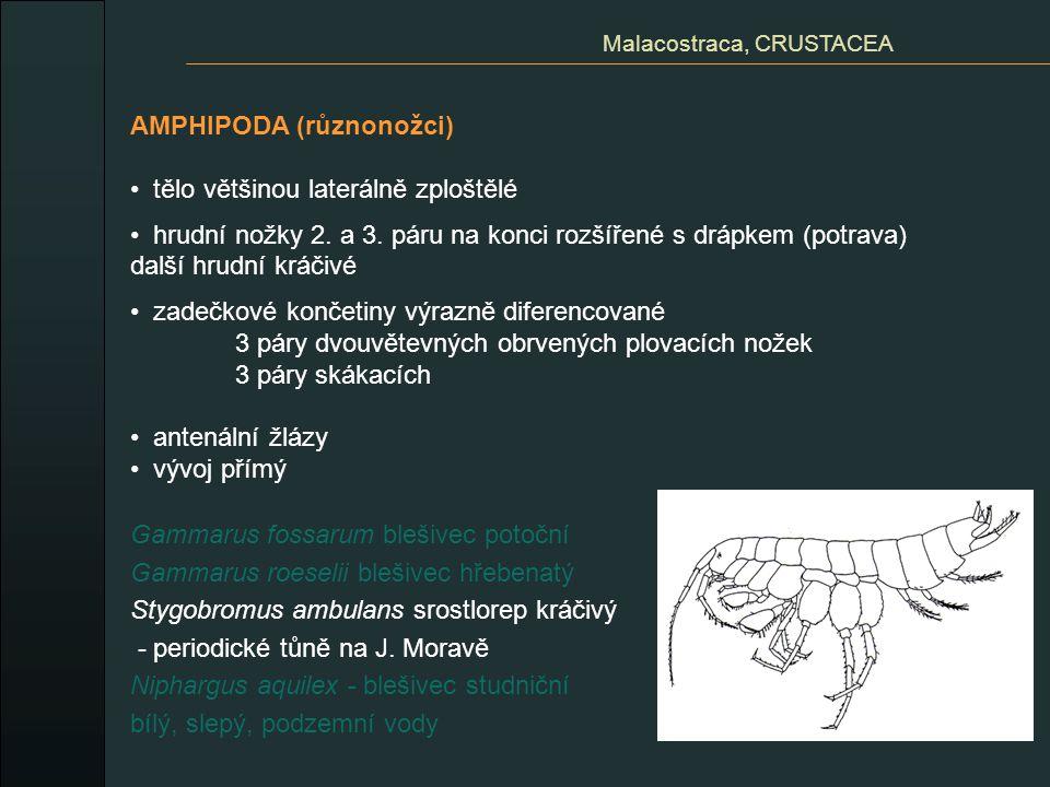 AMPHIPODA (různonožci) tělo většinou laterálně zploštělé hrudní nožky 2. a 3. páru na konci rozšířené s drápkem (potrava) další hrudní kráčivé zadečko