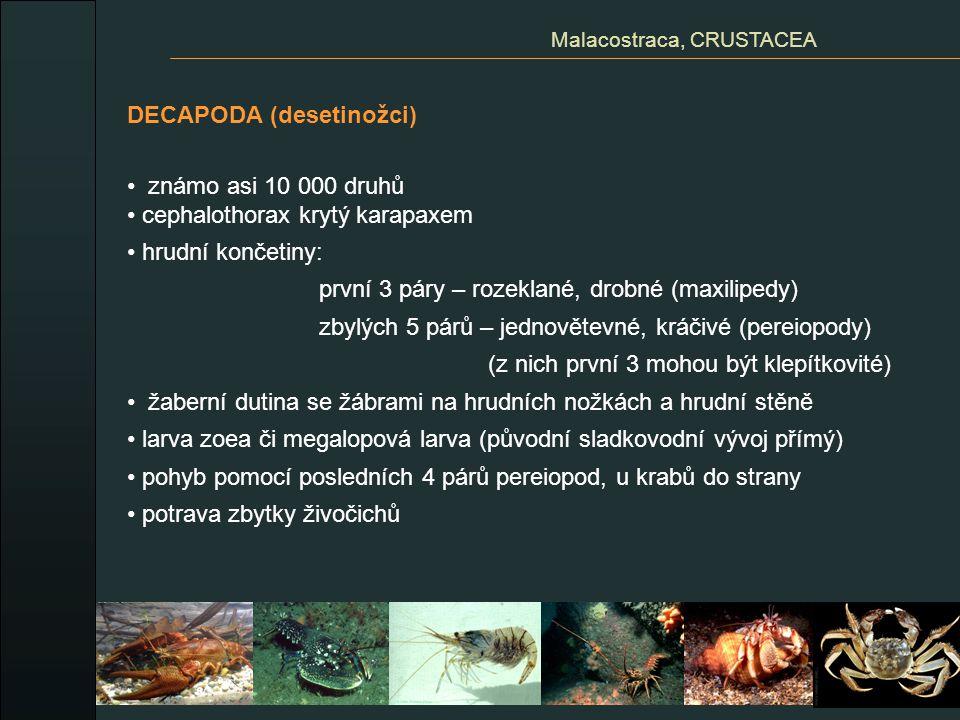 DECAPODA (desetinožci) známo asi 10 000 druhů cephalothorax krytý karapaxem hrudní končetiny: první 3 páry – rozeklané, drobné (maxilipedy) zbylých 5