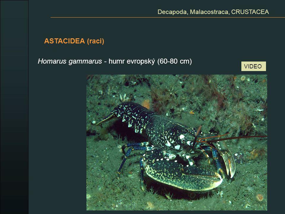 Decapoda, Malacostraca, CRUSTACEA ASTACIDEA (raci) Homarus gammarus - humr evropský (60-80 cm) VIDEO