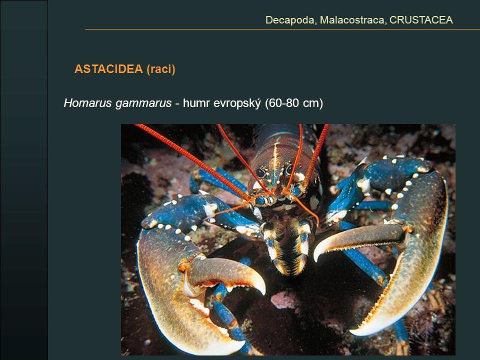 Decapoda, Malacostraca, CRUSTACEA ASTACIDEA (raci) Homarus gammarus - humr evropský (60-80 cm)