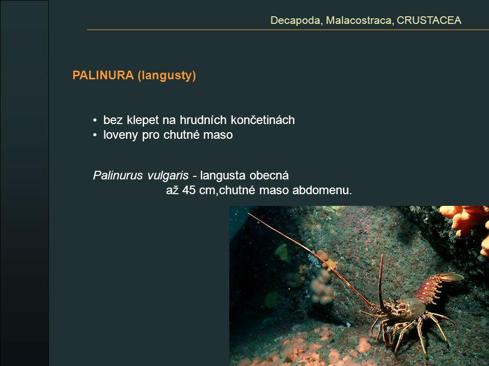 PALINURA (langusty) Decapoda, Malacostraca, CRUSTACEA bez klepet na hrudních končetinách loveny pro chutné maso Palinurus vulgaris - langusta obecná a