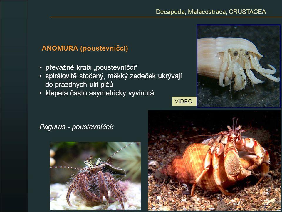 """ANOMURA (poustevníčci) Decapoda, Malacostraca, CRUSTACEA převážně krabi """"poustevníčci"""" spirálovitě stočený, měkký zadeček ukrývají do prázdných ulit p"""