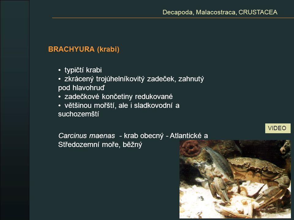BRACHYURA (krabi) Decapoda, Malacostraca, CRUSTACEA typičtí krabi zkrácený trojúhelníkovitý zadeček, zahnutý pod hlavohruď zadečkové končetiny redukov