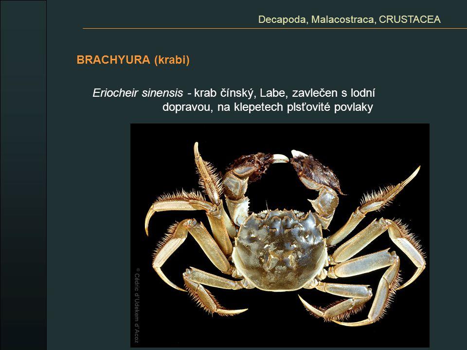 BRACHYURA (krabi) Decapoda, Malacostraca, CRUSTACEA Eriocheir sinensis - krab čínský, Labe, zavlečen s lodní dopravou, na klepetech plsťovité povlaky