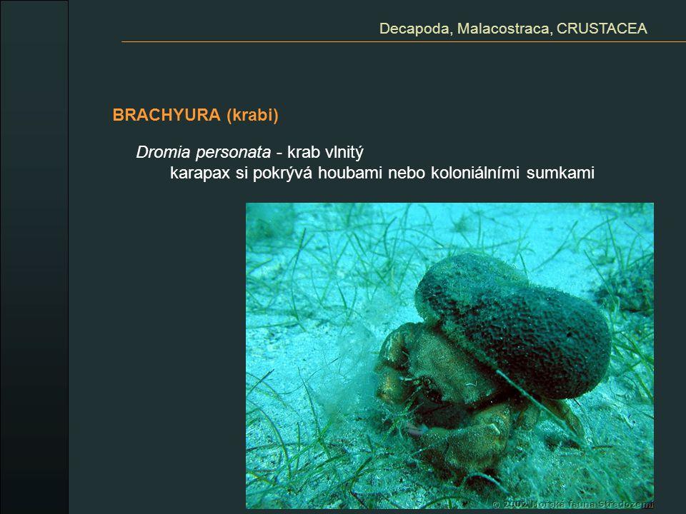 BRACHYURA (krabi) Decapoda, Malacostraca, CRUSTACEA Dromia personata - krab vlnitý karapax si pokrývá houbami nebo koloniálními sumkami