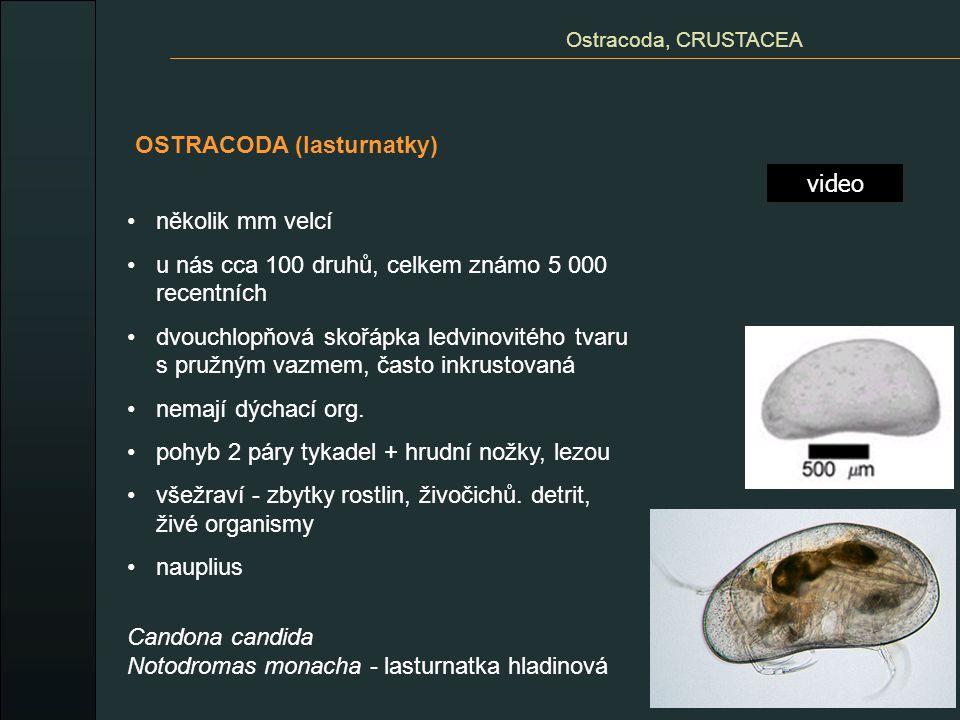 OSTRACODA (lasturnatky) video Ostracoda, CRUSTACEA několik mm velcí u nás cca 100 druhů, celkem známo 5 000 recentních dvouchlopňová skořápka ledvinov