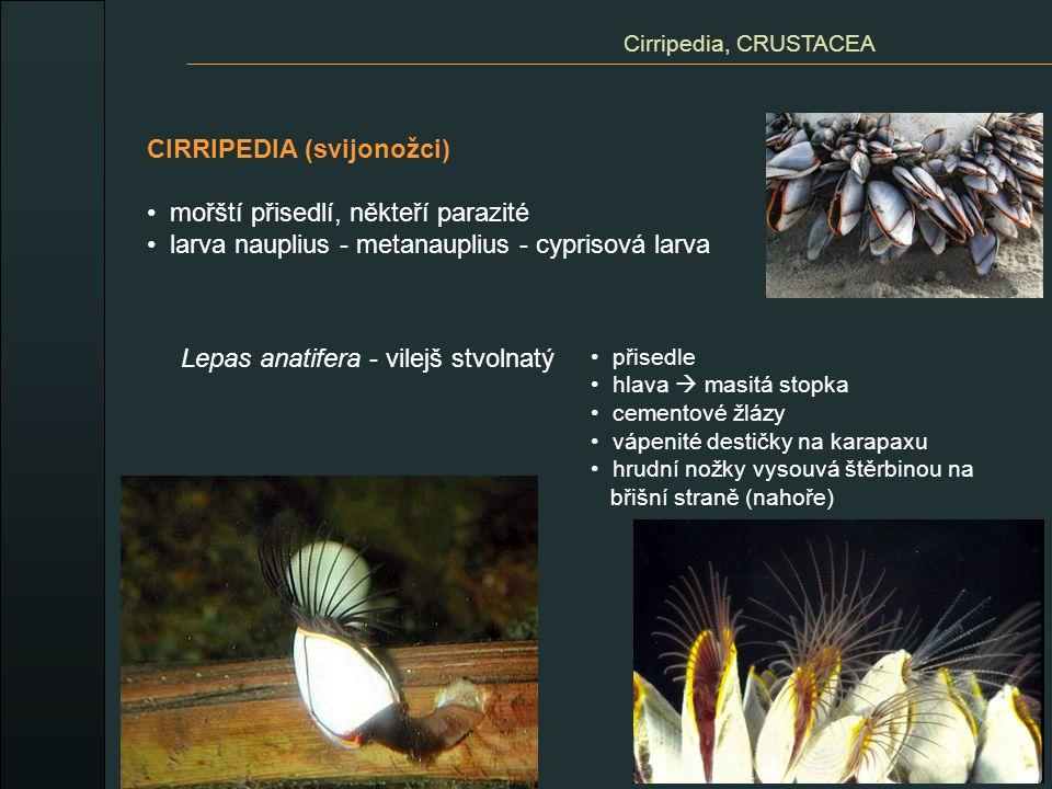 CIRRIPEDIA (svijonožci) mořští přisedlí, někteří parazité larva nauplius - metanauplius - cyprisová larva Cirripedia, CRUSTACEA Lepas anatifera - vile