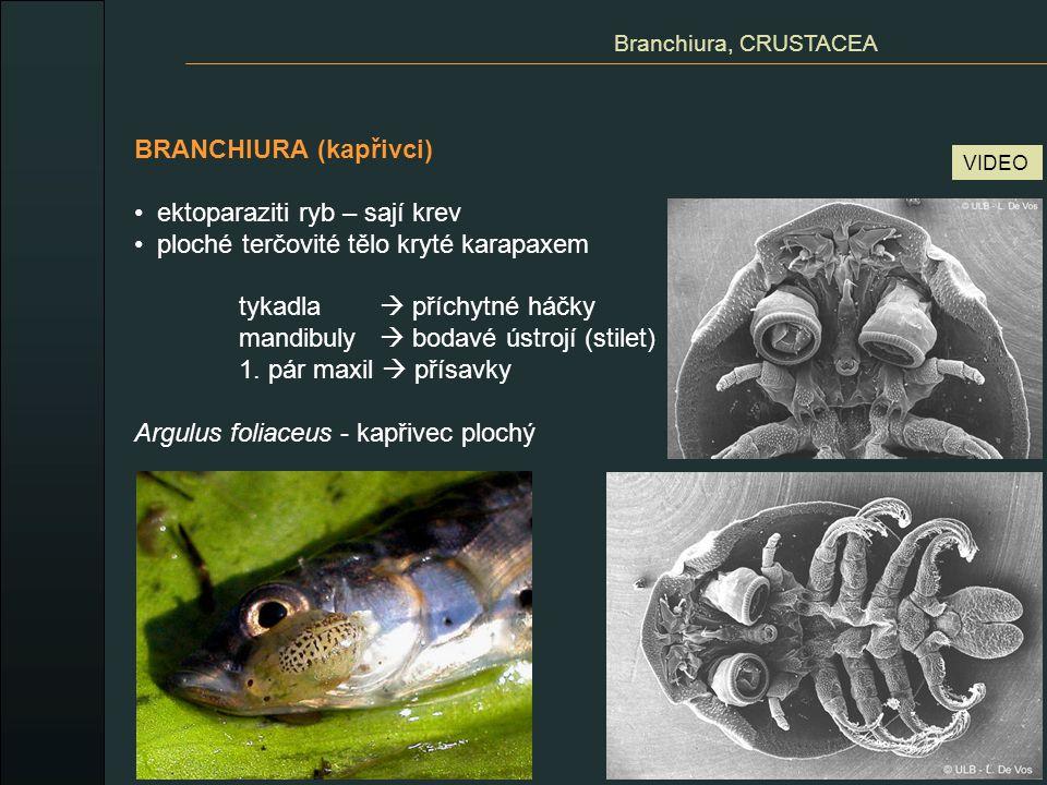 CIRRIPEDIA (svijonožci) mořští přisedlí, někteří parazité larva nauplius - metanauplius - cyprisová larva Cirripedia, CRUSTACEA Lepas anatifera - vilejš stvolnatý přisedle hlava  masitá stopka cementové žlázy vápenité destičky na karapaxu hrudní nožky vysouvá štěrbinou na břišní straně (nahoře)