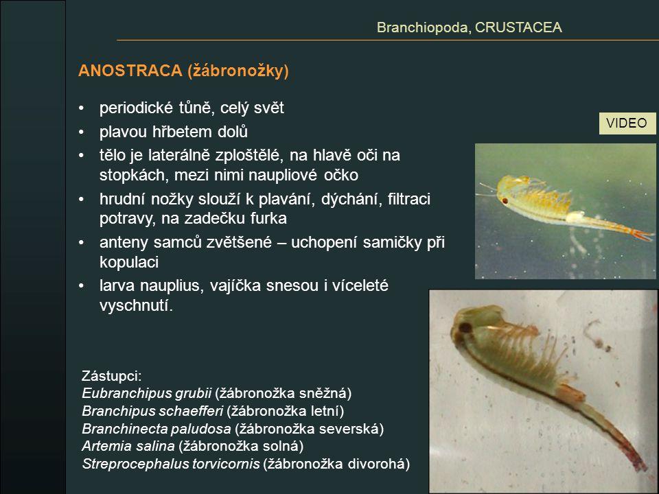 NOTOSTRACA (listonožky) periodické tůně na celém světě kromě Antarktidy tělo dorzoventrálně zploštělé kožní záhyb na hřbetní straně kryté – hlavohrudní štít 11 párů hrudních lupenitých končetin furka pohyb – lezení po dně plavání (undulační pohyby hrudních nožek) dravci, mrchožrouti, detritofágové Branchiopoda, CRUSTACEA Lepidurus apus (listonoh jarní) Triops cancriformis (listonoh letní) VIDEO