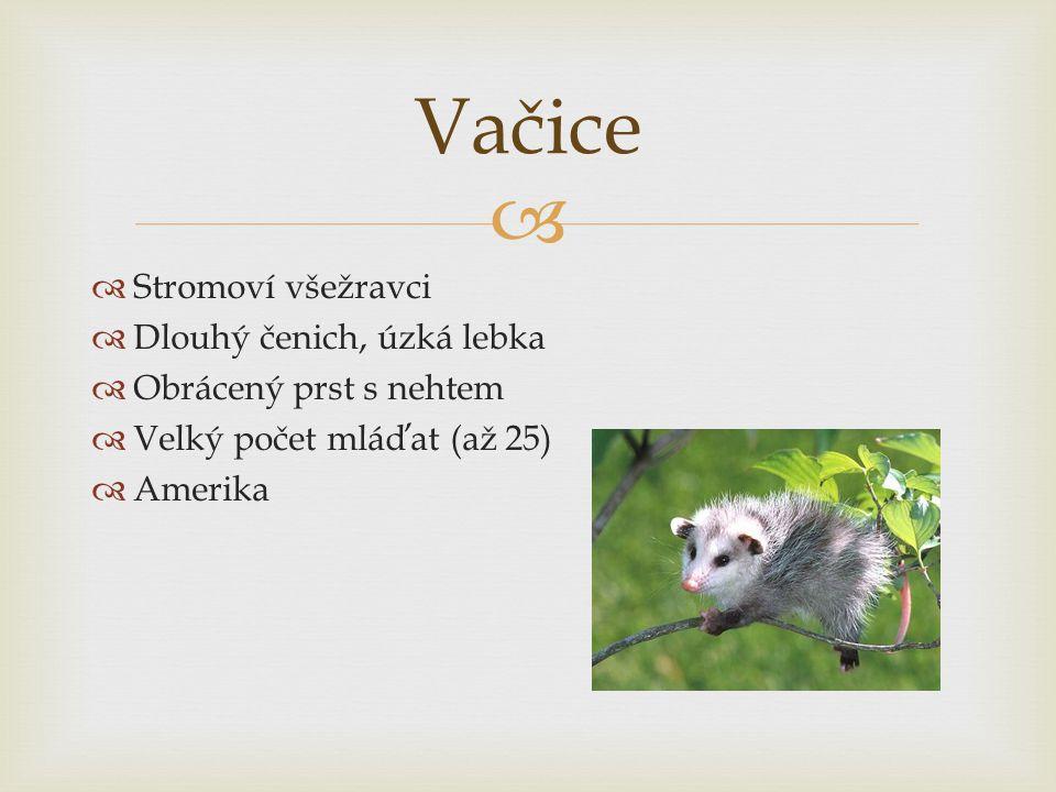   Stromoví všežravci  Dlouhý čenich, úzká lebka  Obrácený prst s nehtem  Velký počet mláďat (až 25)  Amerika Vačice